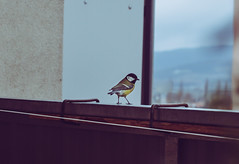 VieW (MonieHoleva) Tags: titmouse sýkorka bird wildbird wildlife animals birdphotography wildnature balcony view nature nikon portrait animalportrait urban hight onthetop sky winter cold december january slovakia