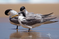 Crested Terns (VS Images) Tags: crestedtern terns thalasseusbergii laridae birds bird birding feathers wildlife wildlifephotography animals avian australianbirds australianwildlife australia nsw nature ngc naturephotography vsimages vassmilevski olympus olympusau getolympus m43 beach water waterbirds