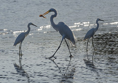 great and lesser egrets (marianna_armata) Tags: 1880681 costarica white egret lesser great fishing beach ocean 3