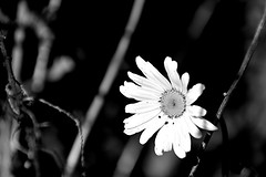 White flower (roanfourie) Tags: nikon d3400 nikkor flickr flick explore 70300mm ed dx afp vr dslr southafrica africa randfontein westrand flower flowers floral plant life flora leafes bnw bw blackandwhite nature naturephotography bokeh dof macro photography raw gimp day outdoors february172018 artinnature art 2018 floraofsouthafrica garden