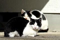 猫さん Cats (takapata) Tags: sony sel90m28g ilce7m2 neko cat 猫さん