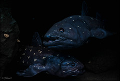 out of the dark - Latimeria (TheOtherPerspective78) Tags: latimeriachalumnae latimeria quastenflosser diorama nhm nhmw display exhibit museum science naturalhistory biology evolution livingfossil coelacanth theotherperspective78 canon eosm6 vienna wien
