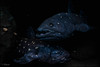out of the dark - Latimeria (TheOtherPerspective78) Tags: latimeriachalumnae latimeria quastenflosser diorama nhm nhmw display exhibit museum science naturalhistory biology evolution livingfossil coelacanth theotherperspective78 canon eosm6 vienna wien