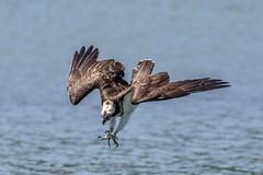 灣潭魚鷹~俯衝~  osprey dive (Shang-fu Dai) Tags: 台灣 taiwan nikon d500 formosa 新店灣潭 魚鷹 pandionhaliaetus 飛羽 鳥 bird nikonafs200500f56 osprey