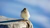 Angry Birds (Nicola Pezzoli) Tags: dolomiti dolomites unesco val gardena winter snow alto adige italy bolzano mountain nature december ski angry birds col rodella fassa bird birdwatching