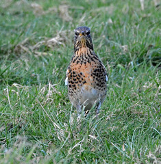 A very handsome Fieldfare. (E P Rogers) Tags: bird migrant visitor thrush grass