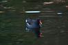 Gallinella d'acqua (supersky77) Tags: gallinella dacqua moorhen gallinula giardinipubblici milano milan bird swimming