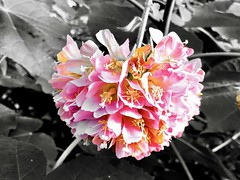 """""""Letting go is the lesson. Letting go is always the lesson. Have you ever noticed how much of our agony is all tied up with craving and loss?"""" ―Susan Gordon Lydon 🌸 (anokarina) Tags: adobephotoshopexpress colorsplash appleiphone8 pink bloom blossom lincolnparkconservatory midnorthdistrict il illinois chicago yellow 🌸"""