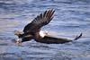 American Bald Eagle Fishing [5123] (cl.lin) Tags: americanbaldeagle eagle lockanddam14 ld14 leclaire iowa mississippiriver nature bird birdinflight releasethememo