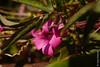 Fleur à Gandria (Tessin), en hiver (25/12/2017 -17) (Cary Greisch) Tags: blume che carygreisch gandria switzerland ticino fleur