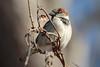 House Sparrow 1-7-2018-3 (Scott Alan McClurg) Tags: aves flickr pdomesticus passer passeridae passeriformes animal back backyard bird delaware fall forest house housesparrow life nature naturephotography neighborhood perch perching portrait smallbirds songbird sparrow suburbs tree wild wildlife winter woods