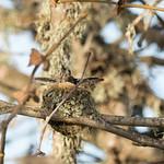 DSC_9335.jpg Anna's Hummingbird nestling, Neary Lagoon thumbnail