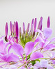 Cleome (Patrick Morrissey Photography) Tags: spiderplant cleomehassleriana annual spiderflower macro flower pink