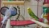 2017-09-14_15-36-57_00002 (Railfan-Eric) Tags: budgie parakeet budgerigar birds
