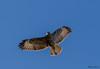 Buse variable (Philippe Renauld) Tags: buse variable oiseau mazères ariège occitanie calmont france fr