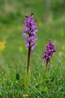 Early Purple Orchid DSC_1568