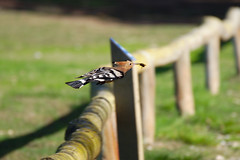 Hoopoe_in_Flight (hawaza) Tags: bird birds hoopoe inflight gotdinner runaway riaformosa algarve portugal
