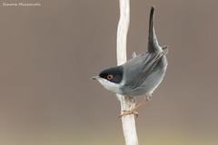 Occhiocotto (Simone Mazzoccoli) Tags: nature naturephoto outdoor birds wrabler wild wildlife softlight birdwatchin
