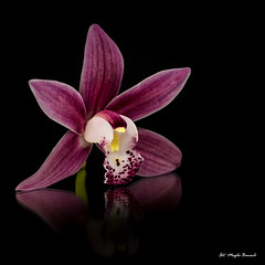 Pink orchid (Magda Banach) Tags: canon canon80d blackbackground colors flora flower macro nature orchid pink plants