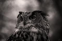 Dark thoughts (Coisroux) Tags: owl lowlight lowkey monochrome blackandwhite strixaluco birdsofprey raptors birdlife portrait eyes bokeh intent stare icarus shadows