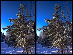 Winter woods 3-D / CrossView / Stereoscopy / HDR / Raw (Stereotron) Tags: winter tree fir tanne snow sun bluesky cold kälte cool saxony sachsen vogtland forest woods outback backcountry wilderness crosseye crosseyed crossview xview cross eye pair freeview sidebyside sbs kreuzblick 3d 3dphoto 3dstereo 3rddimension spatial stereo stereo3d stereophoto stereophotography stereoscopic stereoscopy stereotron threedimensional stereoview stereophotomaker stereophotograph 3dpicture 3dglasses 3dimage canon eos 550d chacha singlelens kitlens 1855mm tonemapping hdr hdri raw