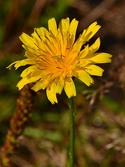 Hieracium in September (МирославСтаменов) Tags: russia moscowregion protvino hieracium asteraceae blooming inflorescence plant