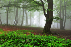 Enchanted Forest (Hector Prada) Tags: bosque niebla hojas verano verde árbol mágico encantado misterioso forest fog leaves summer green tree magic mystic dreamy charmed enchanted naturaleza nature hectorprada paísvasco basquecountry