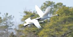 Tundra swans (f.tyrrell717) Tags: tundra swans white bogs new jersy pine barrens