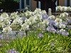 Sunny White Agapanthus (mikecogh) Tags: bright agapanthus flowers woodville
