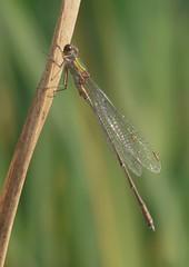 Chalcolestes Viridis (Visual Stripes) Tags: odonata damselfly invertebrate insect nature panasoniclumixg1 sigma105mm macro microfourthirds mft m43