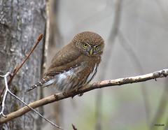 Northern Pygmy Owl (miketabak) Tags: