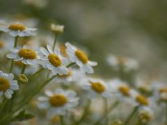 Un peu de camomilles ** (Titole) Tags: camomille wildflowers titole nicolefaton camomile shallowdof diagonal thechallengefactory