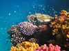 Colorful Reef, Lahami Bay (bayernphoto) Tags: korallenriff riff reef coral bunt steinkorallen weichkorallen lederkorallen nemo clownfisch rochen blaupunkt leopard papageifisch fisch fish klar crystal clear aegypten egypt misr napoleon lippfisch schildkroete turtel turtoise barsch grouper colorful intakt vielfaeltig diversitaet diversity falterfisch feilenfisch wimpelfisch doktor druecker kugelfisch moerdermuschel fusiliere red sea sohal wadi lahamy bay strand schnorcheln snorkelling diving apnoe picasso schwaemme mangroven meer unterwasser weichkoralle riffdach schnorchler