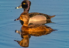 nature (pstrock1) Tags: sky morning peacefull wild wildlife fly nature water beauty wingsringneck bird duck goldenhour