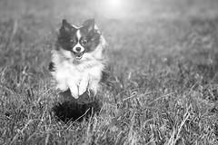 "Flying Hatschi ""in explore"" (Pinky0173 (thrun-fotografie.de)) Tags: hatschi maledog dog cute papilion canon thrunfotografie free flying sun inexplore"