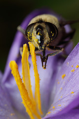 Dronefly hoverfly feeding on crocus flower #1 (Lord V) Tags: macro bug insect hoverfly dronefly