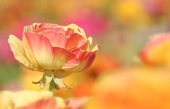 The Flower Fields 2017 2 (Marcie Gonzalez) Tags: ranunculus ranunculaceae flowers blooming petals soft pink orange peach blush selective focus dof blur close up closeup the flower fields theflowerfields carlsbad california calif ca southern north america us usa san diego county coastal