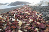 Antarctic Seaweed (Med Gull) Tags: antarctic zegrahm cruise king george island southshetlandislands seaweed