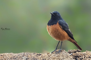Black Redstart (Male)
