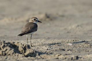 Lesser Sand Plover Charadrius mongolus Goa India b2