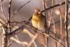 Female cardinal (JD~PHOTOGRAPHY) Tags: cardinal femalecardinal bird birds birdsinthewild wildbirds nature naturesbeauty canon canon6d