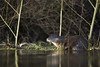 Otter (Daniel Trim) Tags: lutra utra otter european mammal nature photography river suffolk