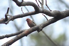 House finch (Bird-guy) Tags: house finch reynolds nature preserve morrow georgia