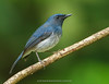 White-bellied Blue Flycatcher #197 (Ramakrishnan R - my experiments with light) Tags: 14tciii 14tc 1d4 2017 500mmf4 avian birding canon cyornis cyornispallipes dec2017 flycatcher forest ghats incredibleindia kerala lifer markiv nationalgeographic prime thatekkadu thattekadu westernghats whitebelliedblueflycatcher aves aviafauna bellied birdphotography birdwatching birder birds birdwatcher blue endemic india jugle lifelist lifers myexperimentswithlight natural nature pallipes photography ramkrishr ramsfotobites twitcher water waterbody white wild wildbirds wildlife 1div 1d ramakrishnan rajamani rrajamani