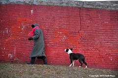 Walking Along The Wall (Trish Mayo) Tags: redwall brickwall walkingthedog dog pitbull highbridgepark nycparks