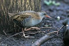 Water Rail  (explored) (Knutsfordian) Tags: rallus aquaticus water rail bird