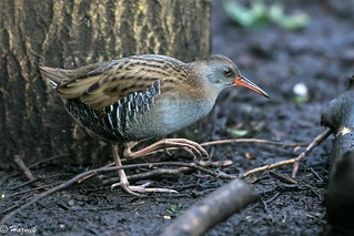 Water Rail  (explored)