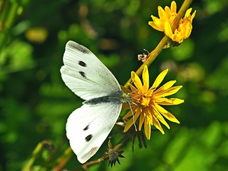 The Large White butterfly visiting a corn sow thistle.