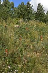 Calochortus gunnisonii var. perpulcher, San Miguel Co., NM (RonParsonsflowershots) Tags: calochortusgunnisoniivarperpulcher nm sanmiguelco