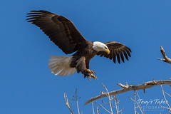 Bald Eagle approach and landing - 20 of 27